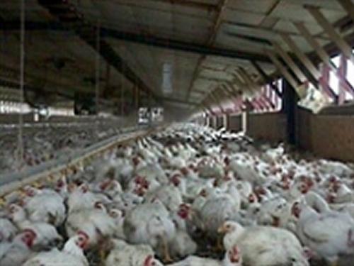 GRAN BRETAGNA: Riduzione antibiotici negli allevamenti avicoli